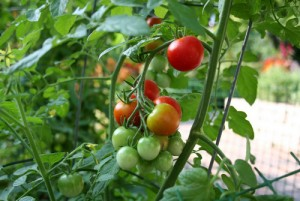 tanaman kebun