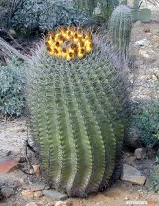 The Fishhook Barrel Cactus