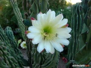 The Totem Cactus