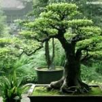 Cara Instan Menanam dan Menumbuhkan Bonsai