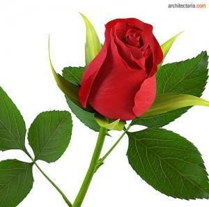mawar1